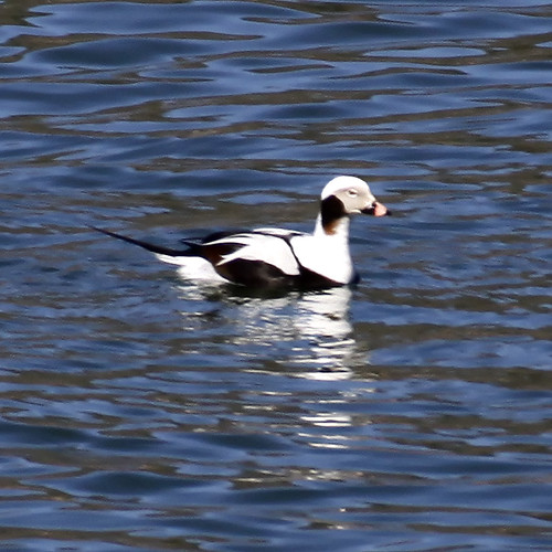 dan georgia duck vickers 2014 longtailed longtailedduck
