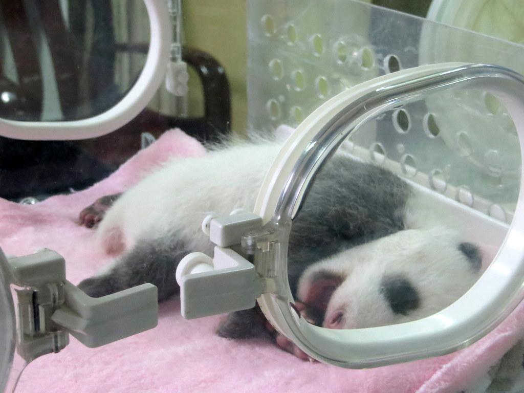 vastasyntynyt panda