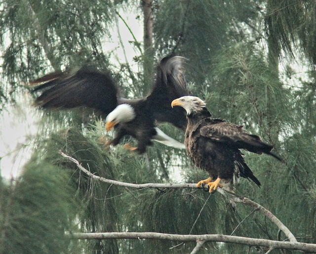 Bald Eagle male and female interacting 03-20141207