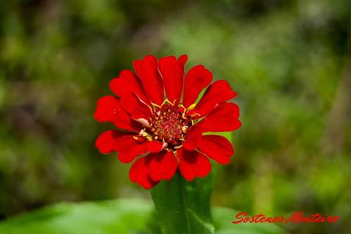 Red Flower - Flor Vermelha