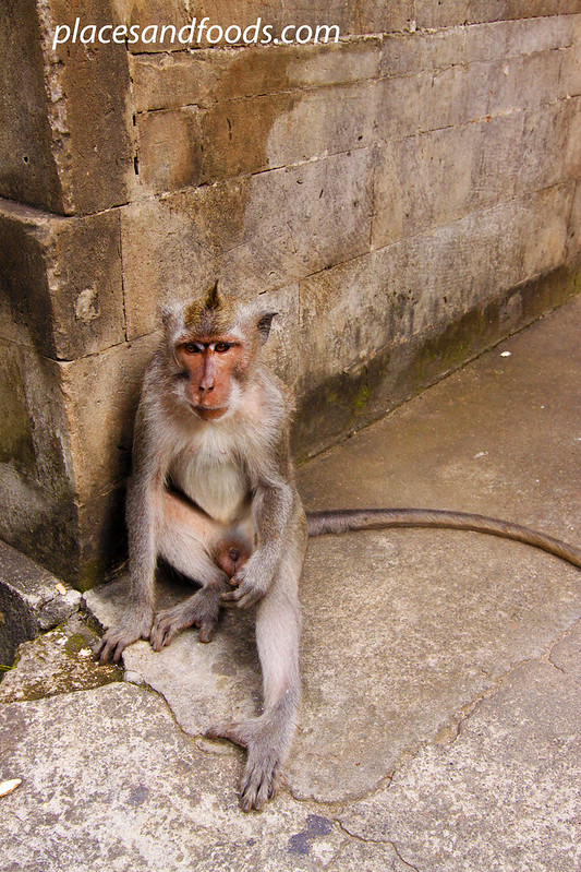 uluwatu temple monkey waiting