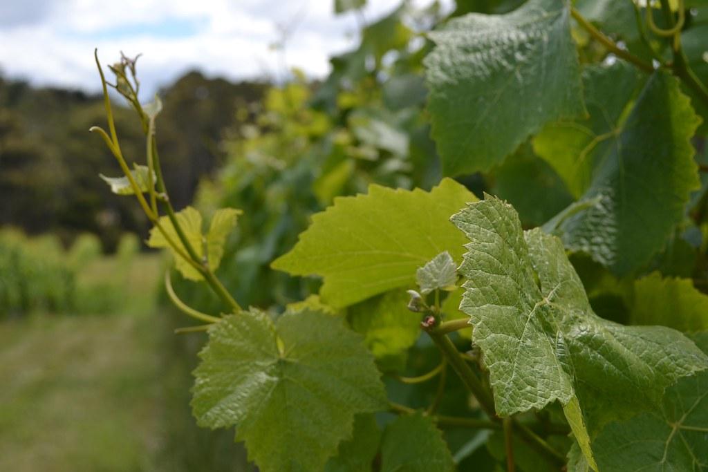 Small vineyard in Bruny Island