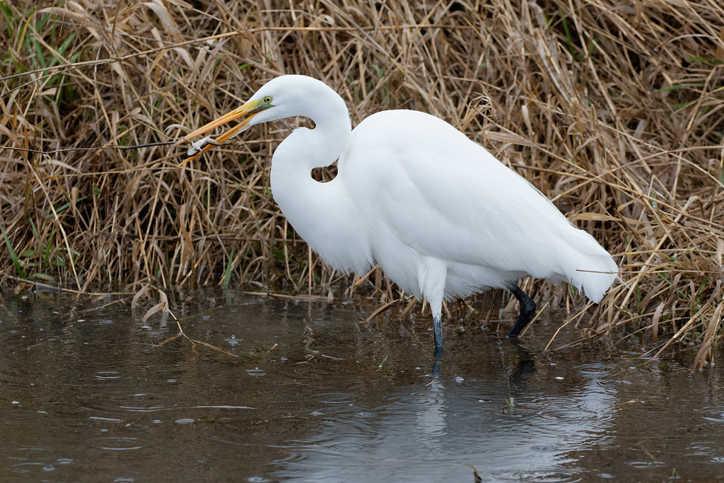 A great egret eats an American bullfrog in the rain at Ridgefield National Wildlife Refuge