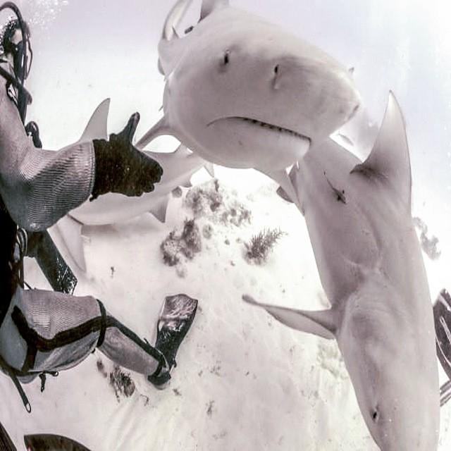 #bullsharks #bullsharkdive #bullsharkdiving #divebullsharks #bullsharksplaya #deeplifebullsharks #deeplifedivers #deeplife #playadelcarmen #deeplifedivers