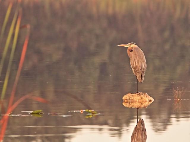 Great Blue Heron 20141229