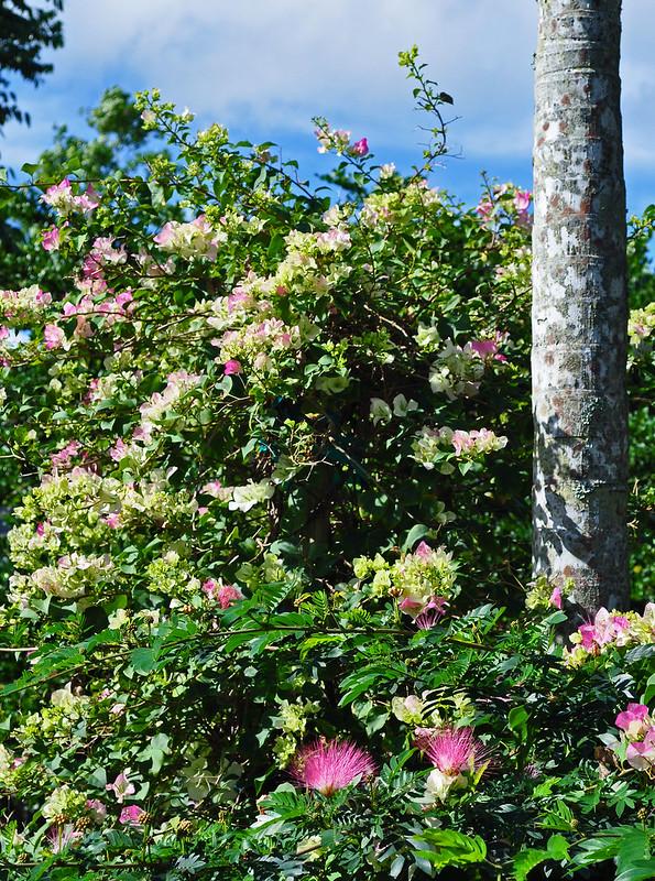 Bougainvillea and Calliandra surinamensis