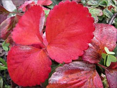 Red strawberry leaves