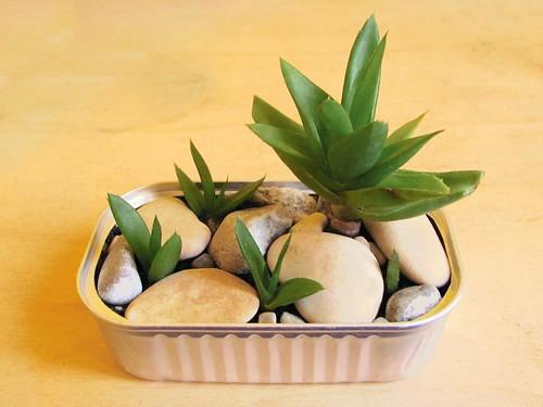 piante grasse dentro scatoletta di sgombri