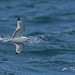 Black-legged Kittiwake by jamintaylor