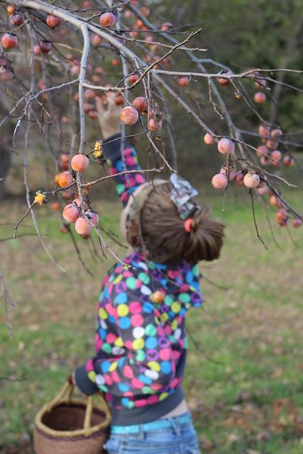 Persimmon Harvest 5