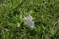 Petite plume