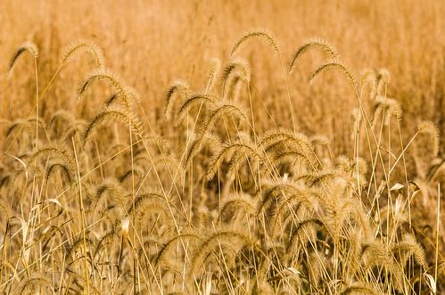 grass virginia foxtailgrass blandyexperimentalfarm virginiastatearboretum