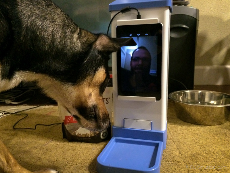 Mort the dog waiting for a treat to be delivered using the iCPooch device.