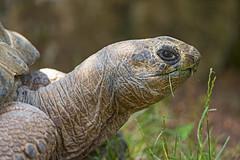 Big old tortoise eating