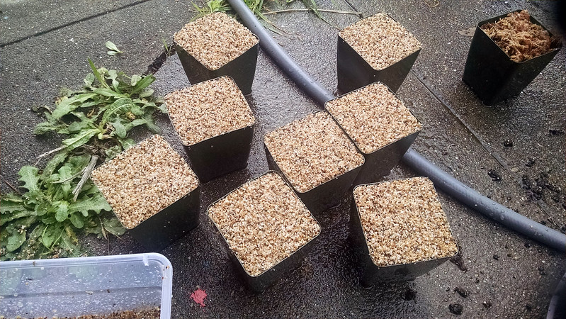 Pots topped with sand for pygmy Drosera.