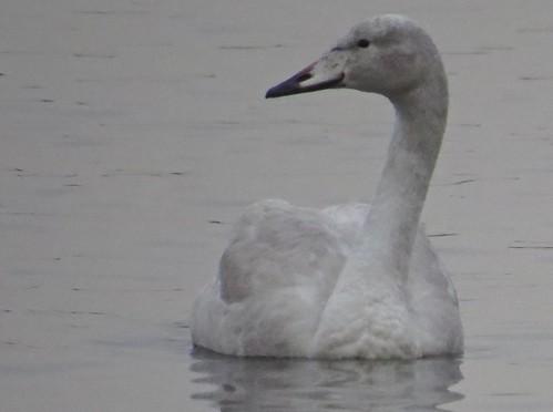 447 Whooper Swans - Cygnus cygnus