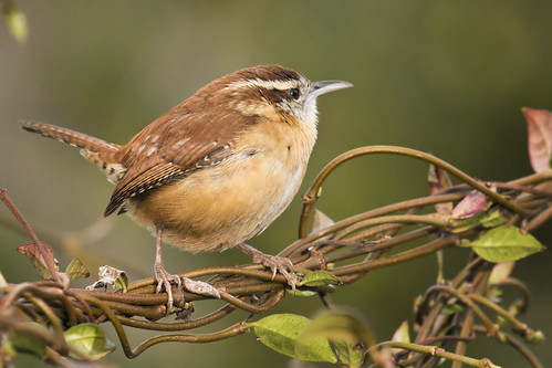 birds canon carolina wren 100400mm 70d 600exrt