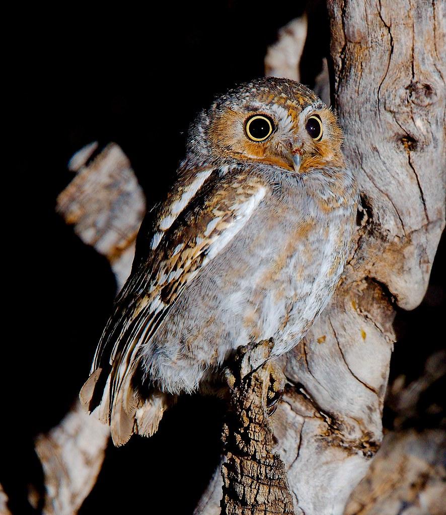 Elf Owl (Micrathene whitneyi)