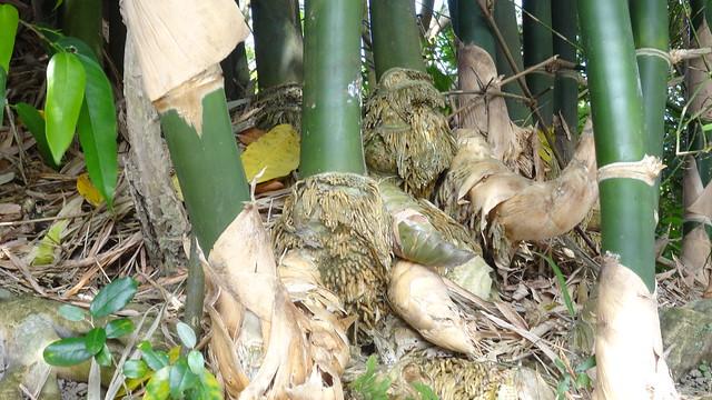 竹的地下莖與竹筍
