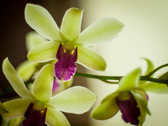 flower, plant, orchid family, macro photography, phalaenopsis equestris, flora, petal,