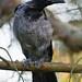 Juvenile Corvus cornix by Ville.V.