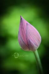 Lotus Bud 1
