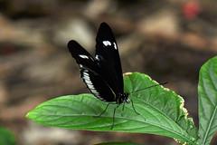 Dallas - Heliconius Cydno Butterfly