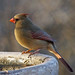 Female cardinal on winter solstice