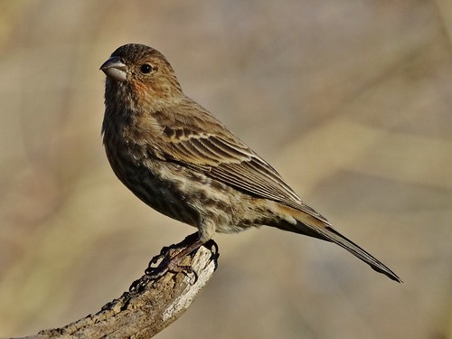 winter bird finch