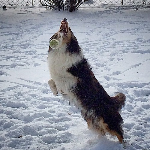 Almost #jasper #Sheltie