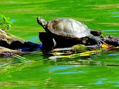 Turtle Life: Dreamer