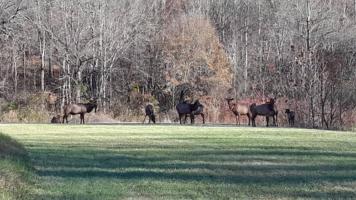 A bull elk with his harem in GSMNP
