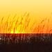 Small photo of North Carolina beachgrass, sunset, sand dunes,