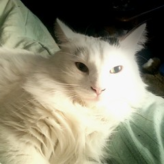 domestic long-haired cat, nose, animal, turkish van, white, small to medium-sized cats, pet, mammal, turkish angora, ragdoll, cat, whiskers, norwegian forest cat,