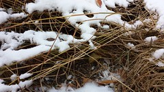 Shelter being used by Song, Swamp and Lincoln's Sparrows in a Jennings Hall courtyard garden flattened by snow