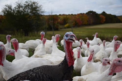 Turkeys at the Ekonk Turkey Farm, in Moosup, Connecticut, roam free. The family-run business annually produces 3,000 turkeys. NRCS photo courtesy Analia Bertucci.