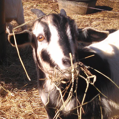 A close-up of the face of a tiny black and white goat. He has straight horns about 4 inches long, and his markings give him the strange appearance of a very happy skull. His mouth is full of hay, and more hay is caught in his horns and wreaths his ears.