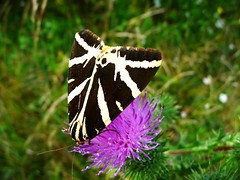 Ecaille chinée - Jersey Tiger Moth