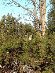 Barred Owl, NYBG