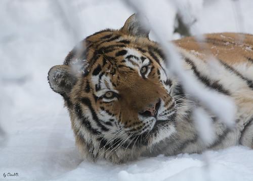 Amurtiger im Schnee ......