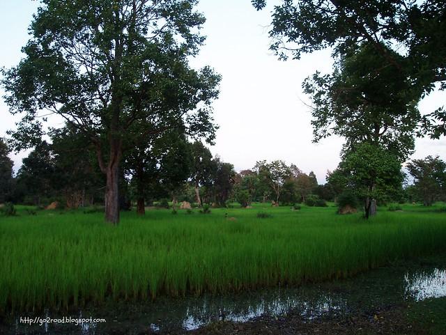 Виды Камбоджи, поля с рисом