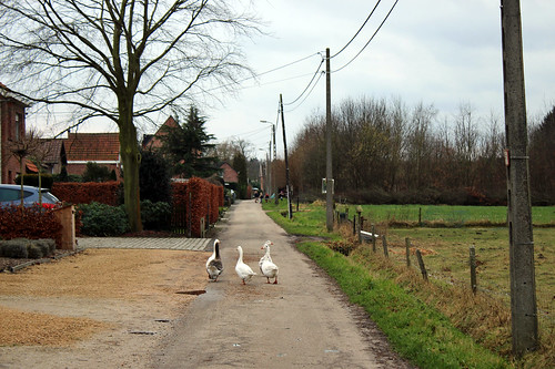 geese taking a stroll