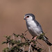 Small photo of African Pygmy Falcon