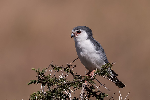 Header of African Pygmy Falcon