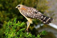 (Best Bird) 1st Place - Red Shouldered Hawk - Christopher Lemke
