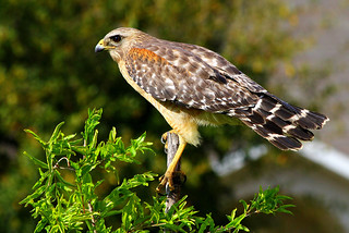 (Best Bird) 1st Place - Red Shouldered Hawk - Christopher Lemke