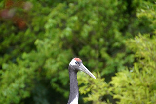 090 Kraanvogel