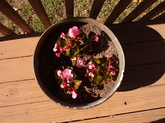 Begonias on the back deck, October 26
