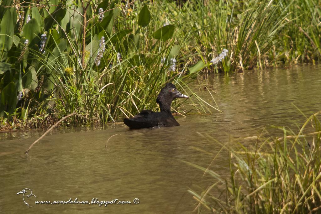 Pato real o Pato criollo (Muscovy Duck) Cairina moschata