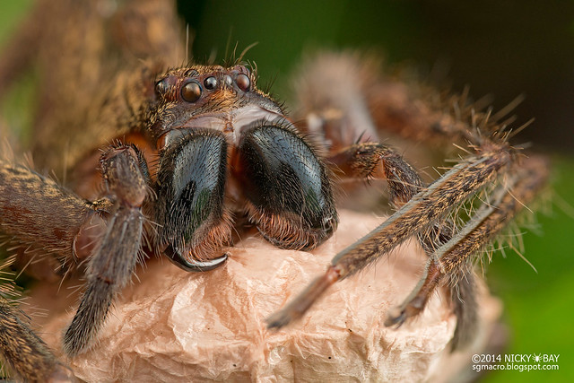 Huntsman spider (Sparassidae) - DSC_1534